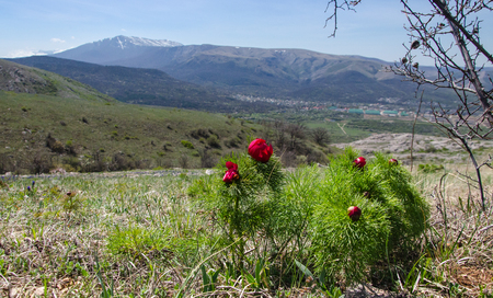 Flowering of peony in mountains in spring