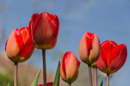 red tulips against a bright blue sky Stock Photo