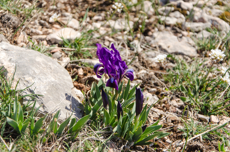 Purple iris flowers in spring mountains