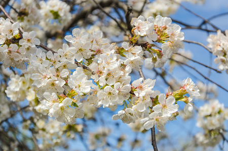 cherry blossom in garden in spring Stock Photo