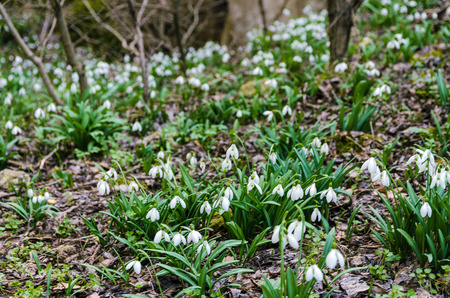 first snowdrops in spring forest