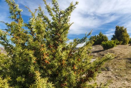 juniper trees on blue sky background in spring Stock Photo