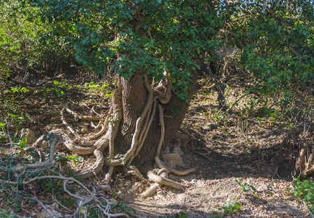 old tree wrapped in a liana in the forest
