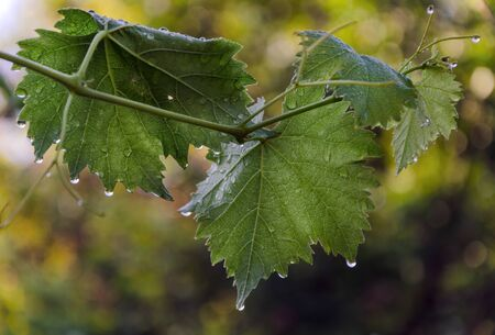Drop of water on grape leaf on bokeh 版權商用圖片