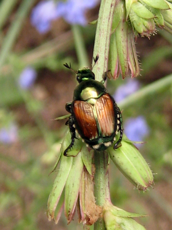 Japanese beetle perching on a flower stem in direct sunlight