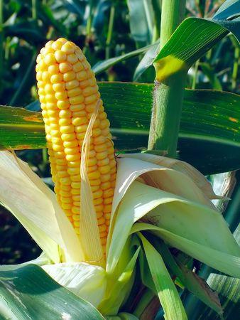 Corn field, maize Standard-Bild
