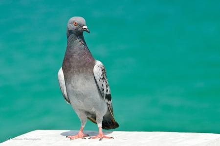 panama city beach: Pigeon su un molo a Panama City Fla