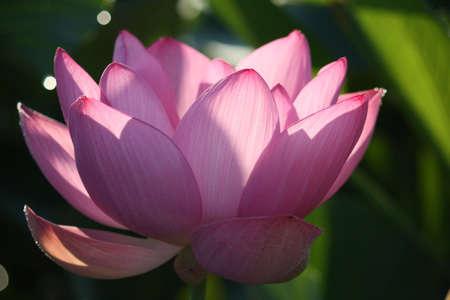 sidelight: pink lotus