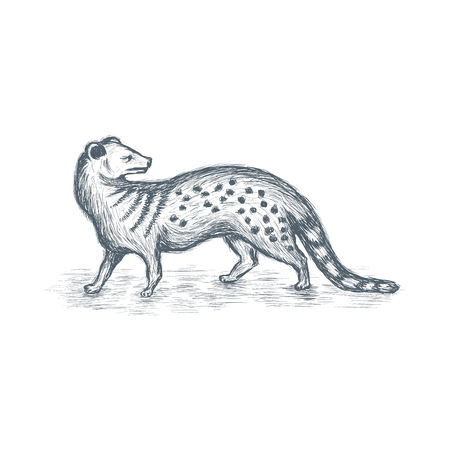 Mongoose sketch vector