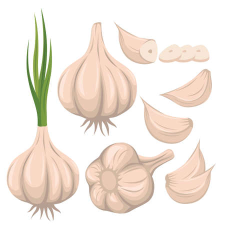 Garlic vector set illustration