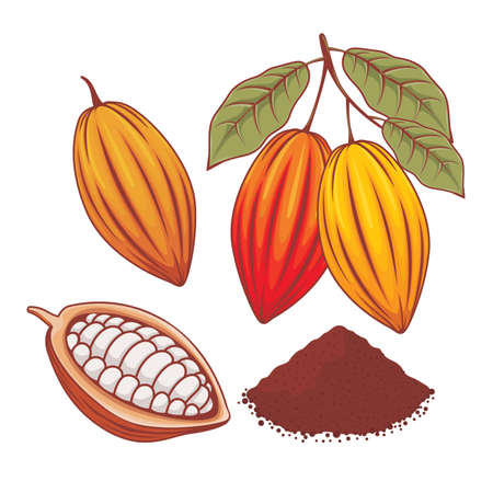 Illustration of whole cocoa bean, ripe cocoa and cocoa powder