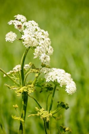 Goutweed  Aegopodium podagraria  flower in the garden