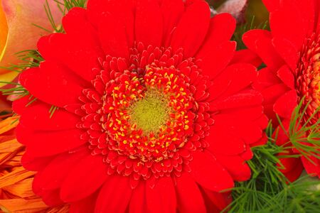 Red gerbera photo