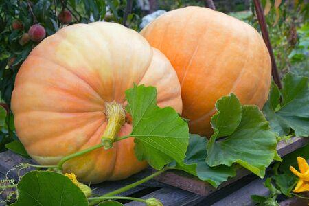 garten: Two pumpkins in a garten