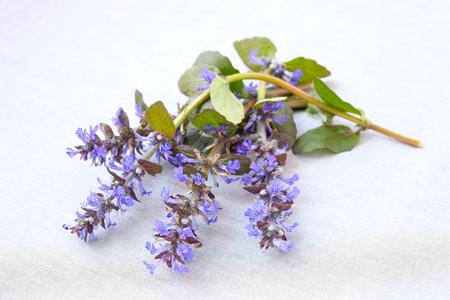 Blue Bugle Flowers Banque d'images - 101174126