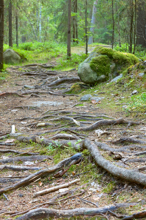 Finland forrest with tree roots. Banque d'images