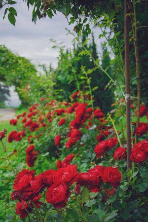 rosengarten: rosengarten Stock Photo