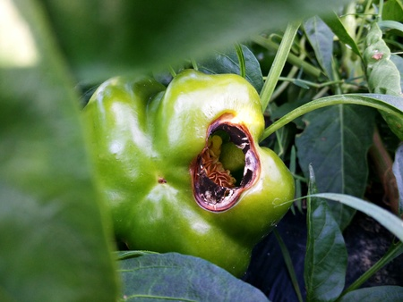 fungal disease: Green pepper disease as ecological and bio farming concept Stock Photo
