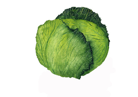 Watercolor cabbage, hand painting isolated on white background, organic food, vegetarian ingredient, illustration for paper, menu