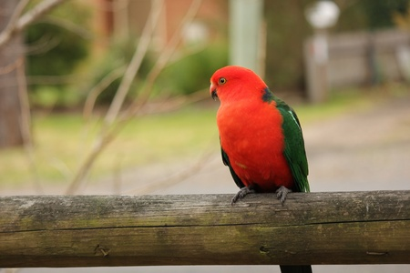 king parrot: King Parrot on fence Stock Photo