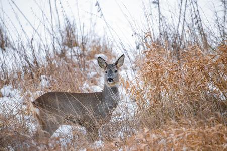 capreolus: Roe deer - Capreolus capreolus
