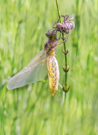 chaser: Broad-bodied Chaser