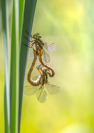 mating: Dragonflies during mating Stock Photo