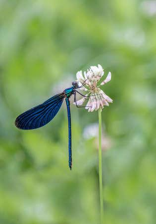 damsel: Calopterygidae