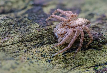 philodromus: Philodromus Spider