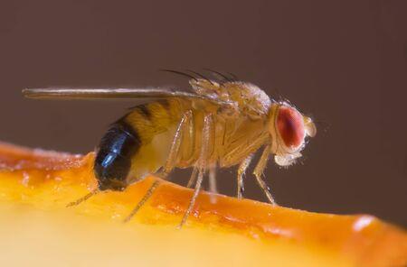 A fruit fly on a piece of fruit