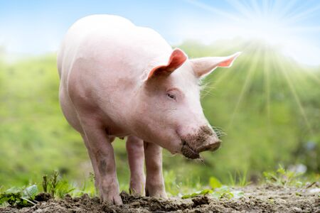 A young domestic pig is on a green meadow Stok Fotoğraf