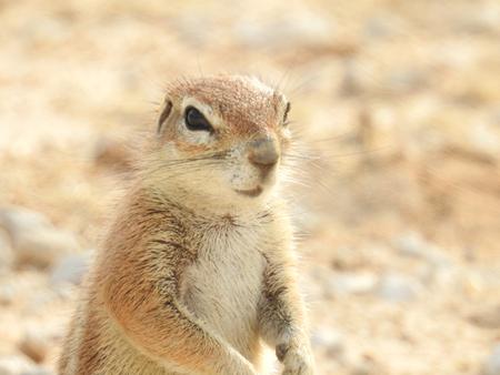 Meerkat watching surroundings. Standing on his hind legs, looking.