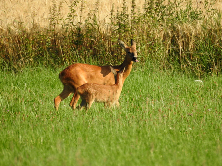 Deer with fawn on field