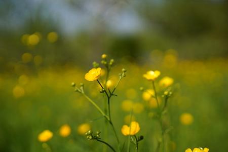 Buttercup flowers on field, background