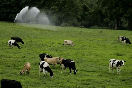 grassing: cows grassing on a meadow