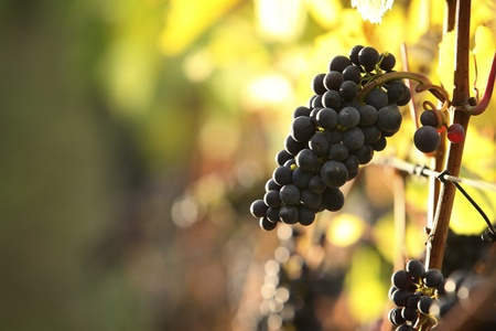 closeup of red grapes in a vineyard Stock Photo