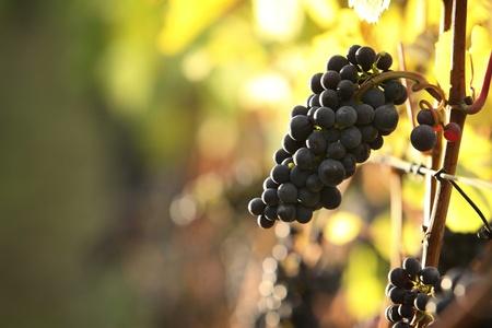 closeup of red grapes in a vineyard Standard-Bild
