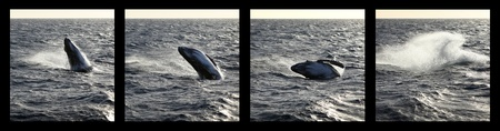breaching: sequence of a Humpback whale calf breaching Stock Photo