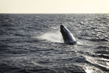 sequence of a Humpback whale calf breaching Stock Photo - 12686608