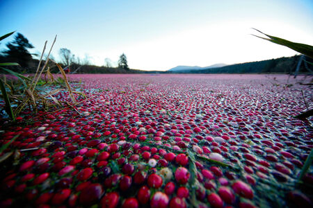 Cranberry field flooded with water