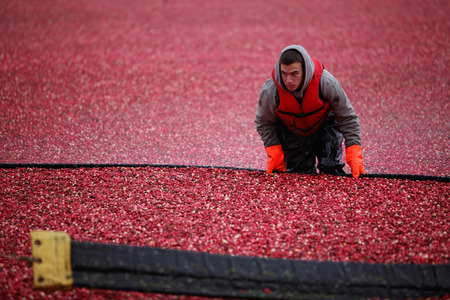 A worker harvesting cranberries in a flooded field