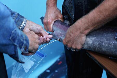 salmonidae: Two men harvesting salmon milt at a fish farm
