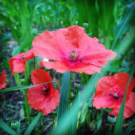 blumen: Blumen blhen red flower.