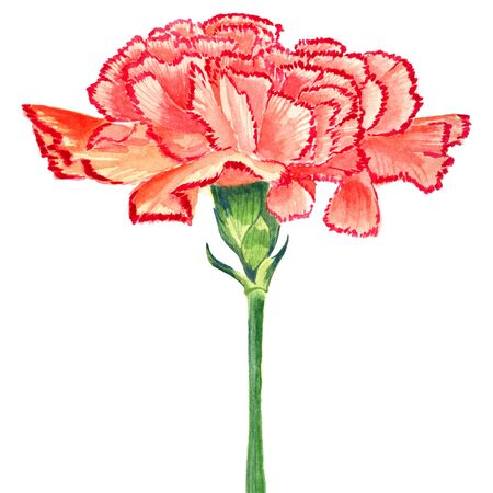 Carnation Clove red Watercolor. Isolated flower on white background.
