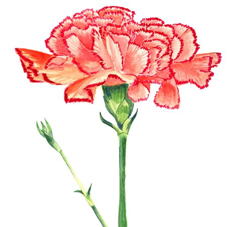 Carnation Clove red Watercolor. Isolated flower and burgeon on white background. Stock Photo