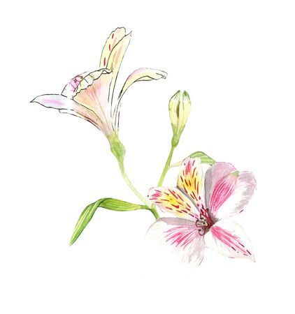 Alstroemeria flowers on a twig, pink flowers on a white background, realistic botanical drawing by hand, watercolor. print for wallpaper, textiles, wrapping paper and other.