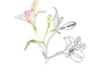 Alstroemeria flowers on a twig, pink flowers on a white background, realistic botanical drawing by hand, watercolor and ink. print for wallpaper, textiles, wrapping paper and other. Stock Photo