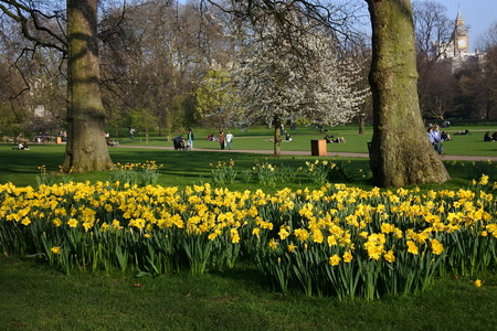 Daffodils in spring, outdoor and park, UK