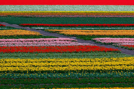 the netherlands: Tulip field in Keukenhof, Netherlands.