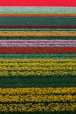 holland: Tulip Fields in Holland
